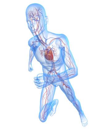 circolazione: uomo in esecuzione trasparente con sistema vascolare