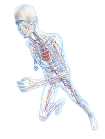 bloodstream: transparent running man - vascular system Stock Photo