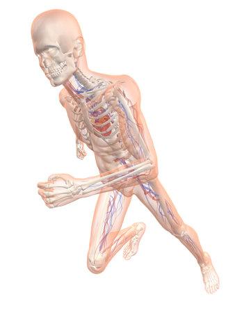 transparent running man - vascular system photo