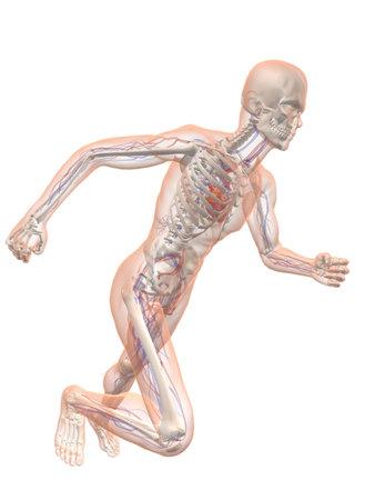 with stamina: transparent running man - vascular system Stock Photo