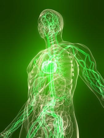 veine humaine: corps transparent avec syst�me vasculaire en sant�