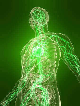 transparent body with healthy vascular system