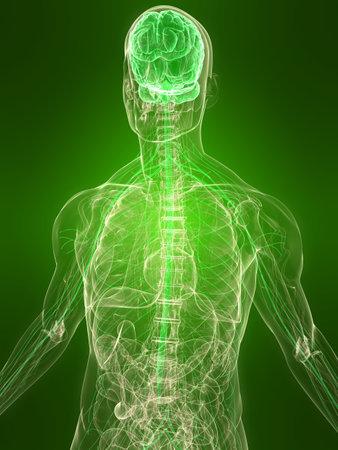saludable: cuerpo transparente con cerebro sano