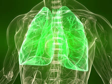healthy lungs: transparent body with healthy lungs