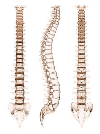 medula espinal: columna vertebral humana - en diferentes puntos de vista