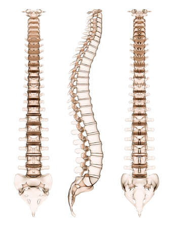 spinal cord: human spine - different views