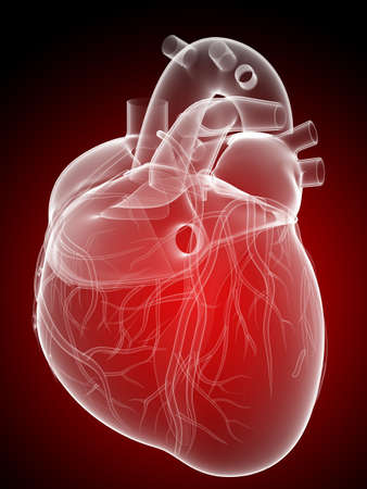 circolazione: cuore umano - anatomia Archivio Fotografico
