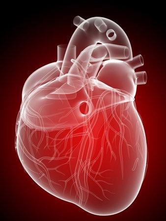 heart anatomy: human heart - anatomy