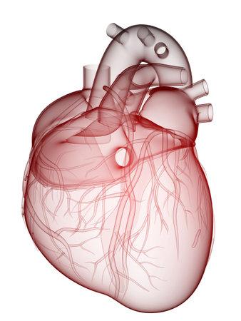 coeur humain - anatomie Banque d'images - 6530580