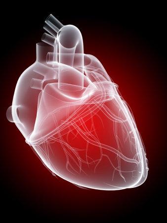 vasos sanguineos: corazón humano - anatomía