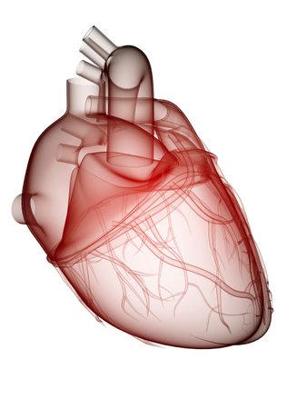 coraz�n humano - anatom�a  Foto de archivo - 6530505