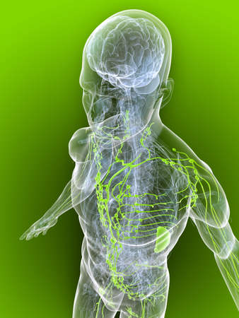 lymphatic: transparent body with healthy lymphatic system