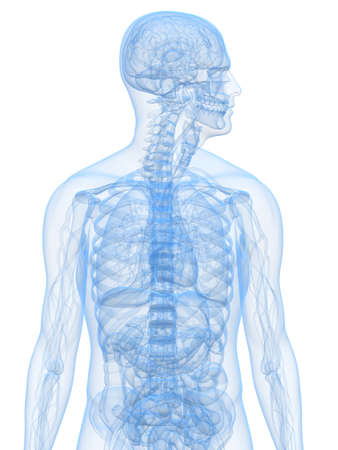 human transparent anatomy Stock Photo - 6833721