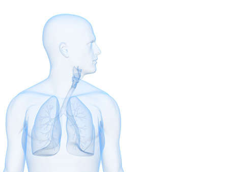 human lungs: human lung