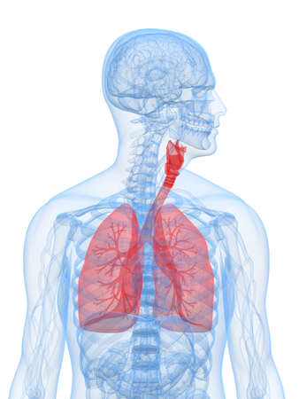 vitals: human highlighted lung Stock Photo