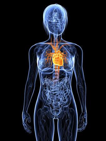 highlighted: Anatom�a femenina con coraz�n resaltado