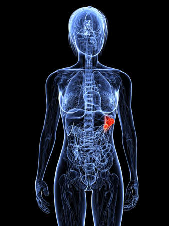 transparent female body with highlighted spleen photo