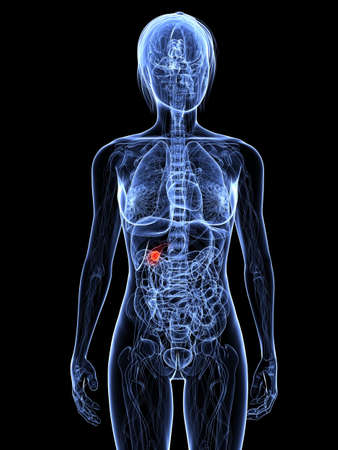 ransparent female body with highlighted gallbladder Stock Photo - 7308793