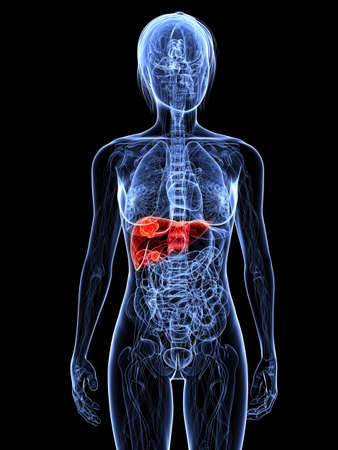 liver cancer: transparent female body with highlighted liver Stock Photo