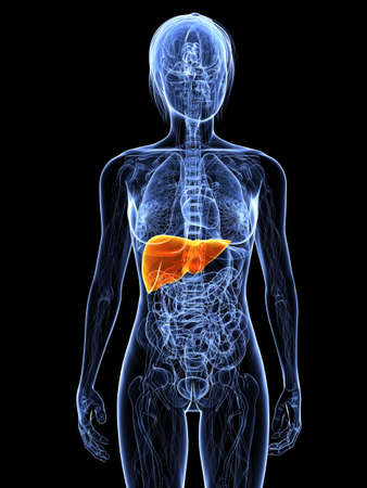 spleen: transparent female body with highlighted liver Stock Photo