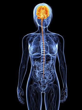 강조 표시 된 두뇌와 투명 여성의 몸