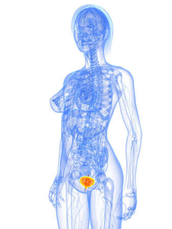 transparent female body with highlighted bladder photo