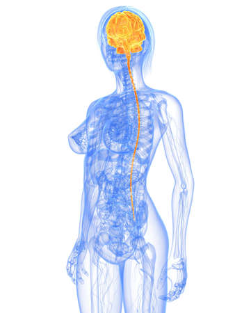 transparent female body with highlighted brain Stock Photo - 7308779