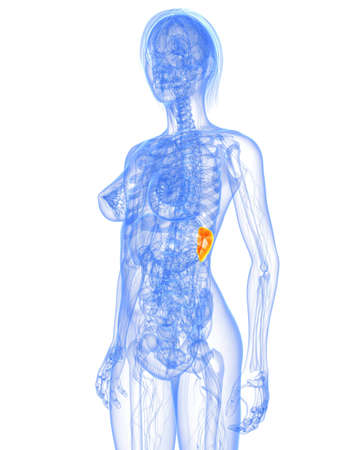 transparent female body with highlighted spleen Stock Photo - 7308782