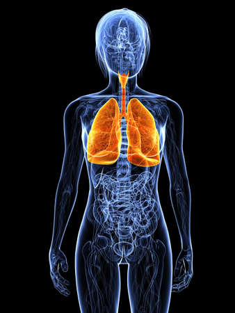 airways:  transparent female body with highlighted lung