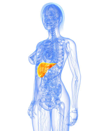 transparent female body with hihglighted liver photo