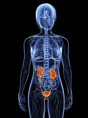Anatomía femenina con sistema urinario resaltada