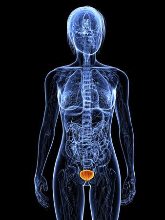 highlighted: Anatom�a femenina con vejiga resaltada