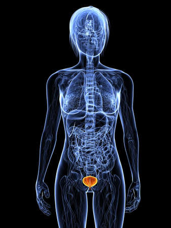 bladder cancer: female anatomy with highlighted bladder Stock Photo