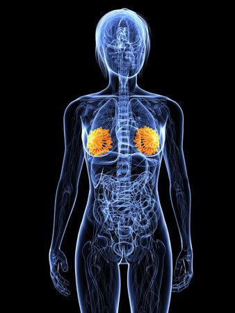 highlighted: Anatom�a femenina con destac� mamaria