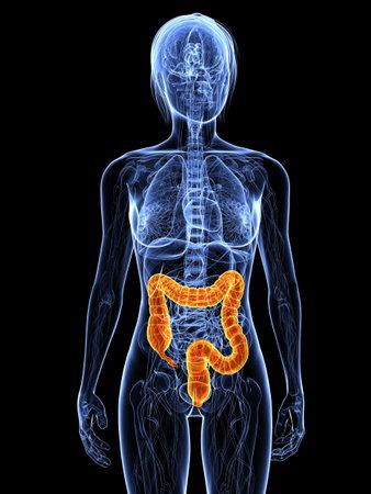 intestino: Anatom�a femenina con dos puntos resaltados
