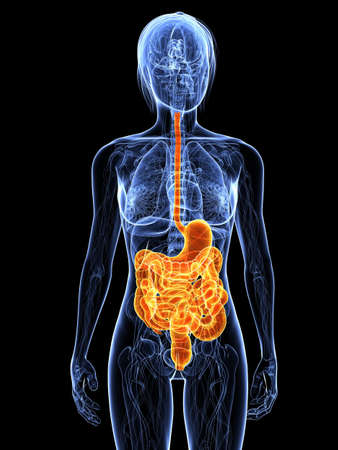 highlighted: female anatomy with highlighted digestive system