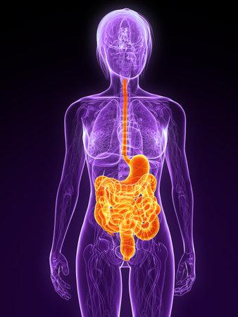 intestino: Anatom�a femenina con resaltado sistema digestivo  Foto de archivo