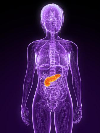pancreas: anatomie f�minine avec pancr�as en surbrillance