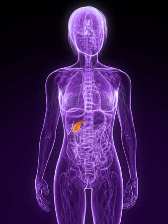 gall: female anatomy with highlighted gall bladder Stock Photo