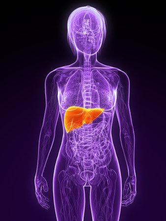 foie humain: anatomie f�minine avec foie en surbrillance