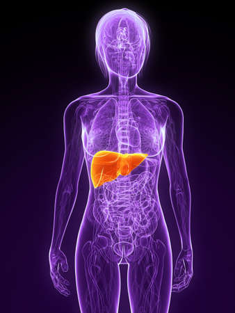 colon cancer: female anatomy with highlighted liver Stock Photo