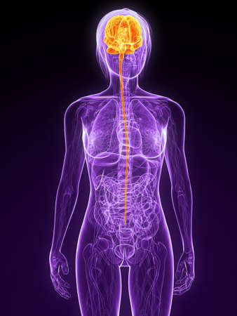 female anatomy with highlighted brain Stock Photo - 7314776