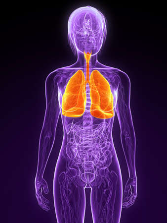 female anatomy with highlighted lung Stock Photo - 7314745