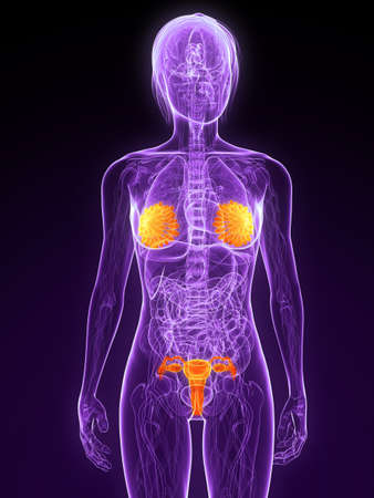 female anatomy with highlighted sex organs Stock Photo - 7314754