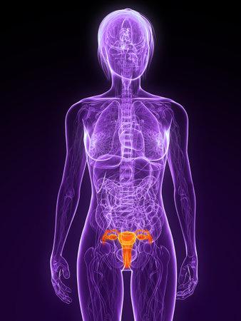 uterus: female anatomy with highlighted uterus Stock Photo