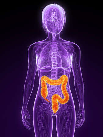 female anatomy with highlighted colon Stock Photo - 7314753