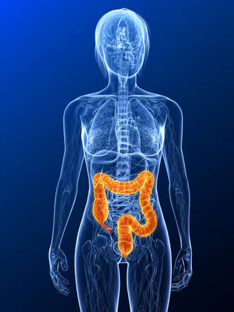 female anatomy with highlighted colon Stock Photo - 7314757