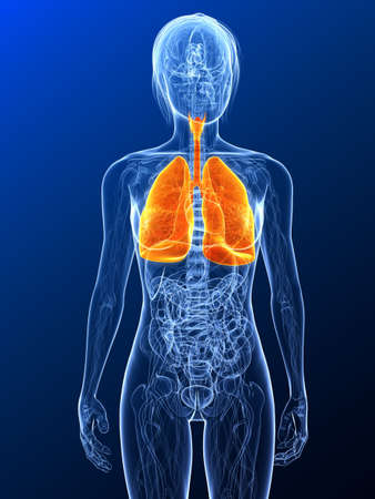 female anatomy with highlighted lung Stock Photo - 7314750