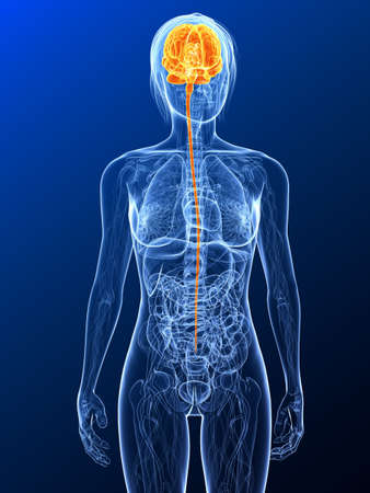 female anatomy with highlighted brain Stock Photo - 7314769