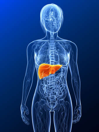 female anatomy with highlighted liver Stock Photo - 7314760